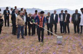 اختراع دستگاه برداشت گل زعفران از مزرعه توسط عضو هیئت علمی دانشگاه بیرجند