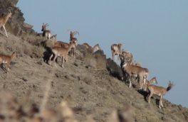 جمعیت قوچ اوریال در منطقه حفاظت شده درمیان افزایش یافت