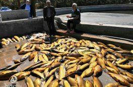 برداشت ۳ تن ماهی گرمابی در طبس