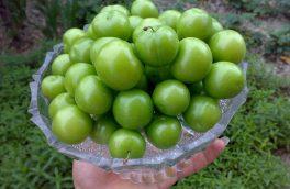 آغاز برداشت گوجه سبز و آلو در خراسان جنوبی