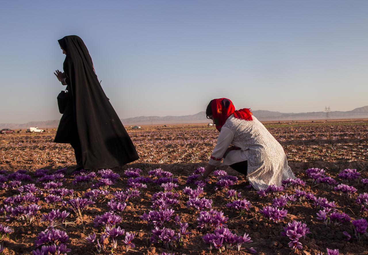 خراسان جنوبی سرزمین طلای سرخ - عکس ابوالفضل حسن پور