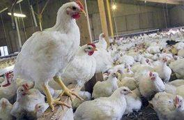 ۷۵ درصد مرغ تولیدی خراسان جنوبی مازاد بر نیاز است