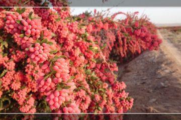 خسارت به ۲ هزار هکتار باغ های زرشک قاینات