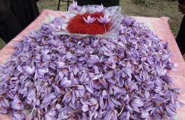 اهدای بیش از نیم تن گل زعفران به بقاع متبرکه در سرایان