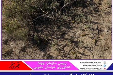 ۲۵ کانون ملخ صحرایی در خراسان جنوبی شناسایی شد