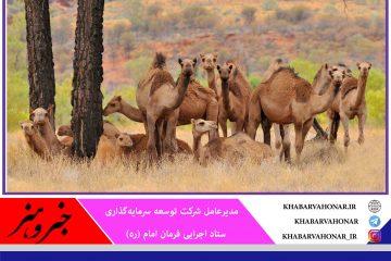 ۱۰ هزار نفر شتر مولد برای خراسان جنوبی تامین  و در کنار آن صنایع وابسته شتر تاسیس میشود
