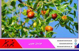 کاهش بیش از ۳۰ درصدی تولید عناب در سال جاری در خراسان جنوبی