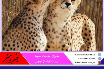از ابتدای امسال دو قلاده یوز ایرانی در منطقه نایبندان طبس مشاهده شده است