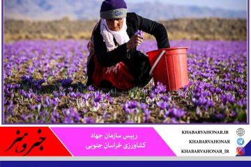 ۷۰ تن زعفران امسال در خراسان جنوبی برداشت میشود