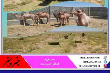 تولیدخارشتر علوفه ارزان قیمت درشهرستان سربیشه درسطح ٢۰۰ هکتار