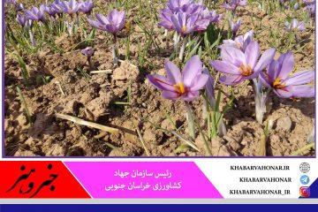افزایش ۳.۵ درصدی تولید زعفران در خراسان جنوبی