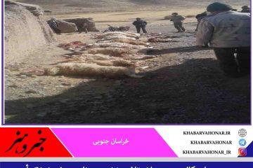 در روستای کالبید در میان  تلف، زخمی و ناپدید شدن ۴۱ رأس گوسفند در حمله گرگها به گله گوسفندان