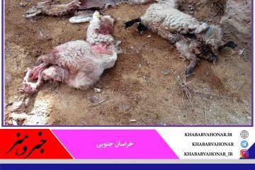 خسارت ۳۵ میلیونی گرگها به دامداران در روستای سریجان شهرستان درمیان