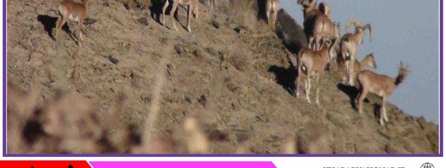 جمعیت حیات وحش در شاسکوه زیرکوه ۲۰ درصد افزایش یافت