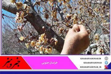 سرما به پنج هزار هکتار مزارع و باغات خراسان جنوبی خسارت زد