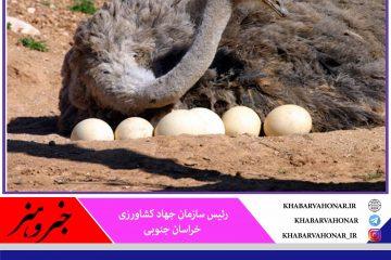 تولید ۲۰۰ هزار عدد تخم شترمرغ در واحدهای پرورشی خراسان جنوبی