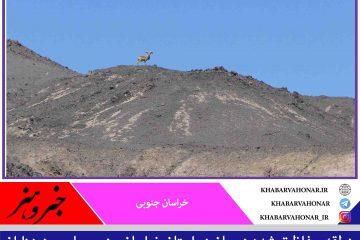 منطقه حفاظت شده درمیان خراسان جنوبی زیستگاه نژاد متفاوت بزرگترین و زیباترین قوچ اوریال  ایران