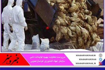 معدوم سازی یک میلیون قطعه مرغ با شیوع آنفلوآنزای حاد پرندگان در خراسان جنوبی