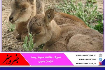 زندهگیری نوزادان حیات وحش از تخلفات زیست محیطی است