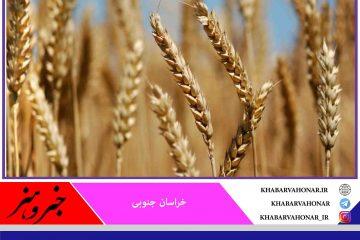 خسارت ۱۰۰ درصدی خشکسالی به کشت دیم گندم در خراسان جنوبی