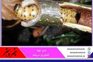 خشکسالی؛ جمعیت و خسارت آفات چوبخوار در شهرستان سربیشه را گسترش داد