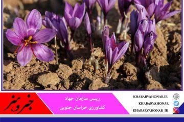 سطح زیرکشت زعفران در خراسان جنوبی افزایش یافت