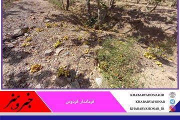 توفان به ۳۰ درصد باغهای پسته شهرستان فردوس خسارت زد