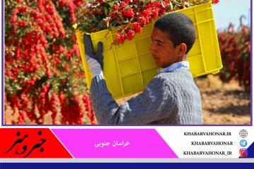 پیش بینی تولید ۲۲ هزار تن زرشک در خراسان جنوبی